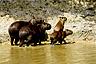 The semi-aquatic capybaras