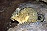 The rabbit-like vizcacha