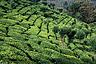 Tea plantations near Ooty