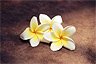 Blossoms of the plumeria tree, Laos' national tree, Laos