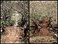 Plumeria trees line Wat Phu's stairway