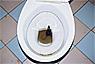 Common toilet rat