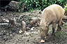 Family of Bornean bearded pigs