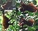 Orangutan family near Kinabatangan river