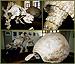 Skeleton of Glyptodon dinosaur