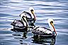 Pelicans at Paracas